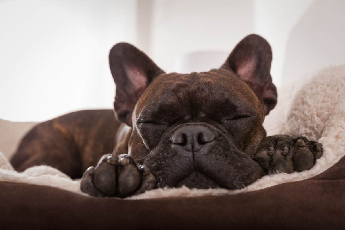 What Are French Bulldogs Bred For Any Bulldog