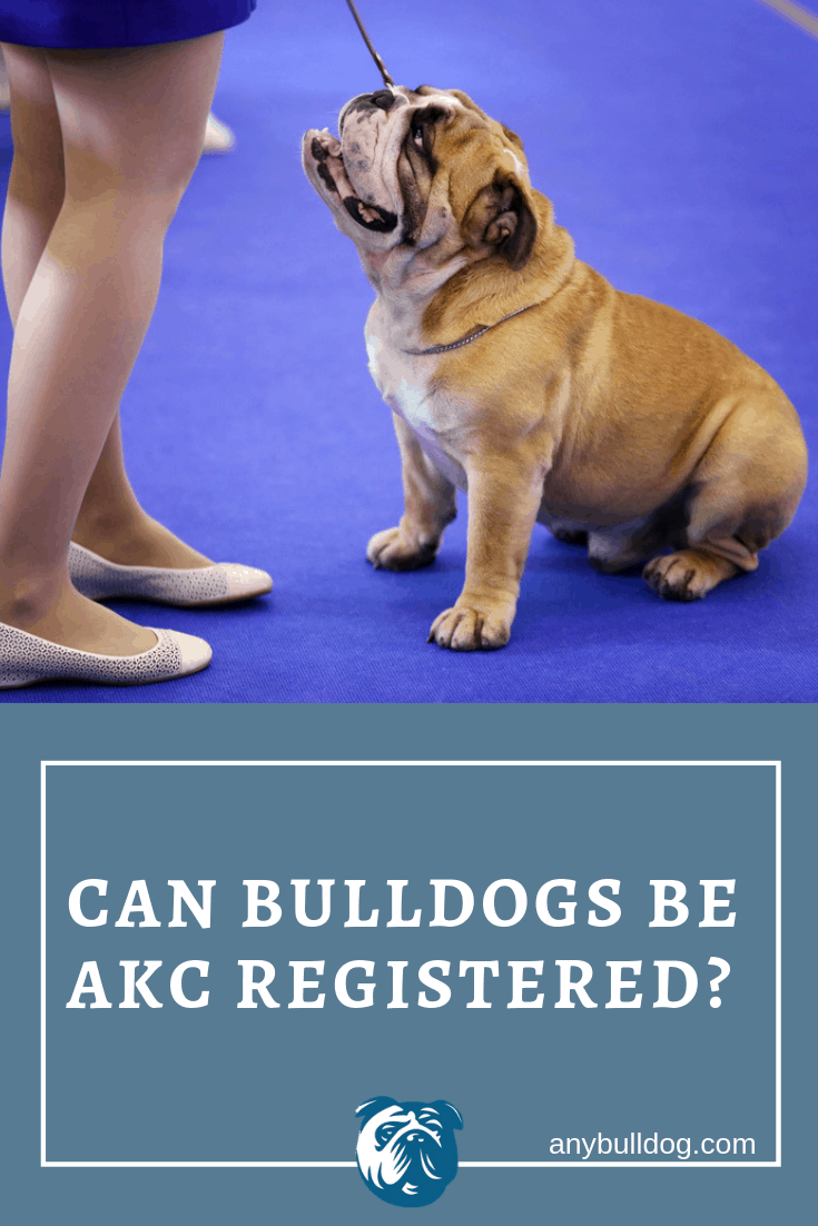 Can Bulldogs be AKC Registered? Yes and Here's How! – Any