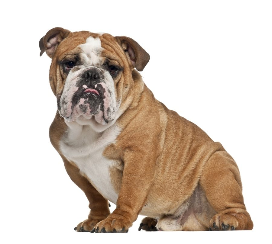 Are Bulldogs Protective Of Their Owners