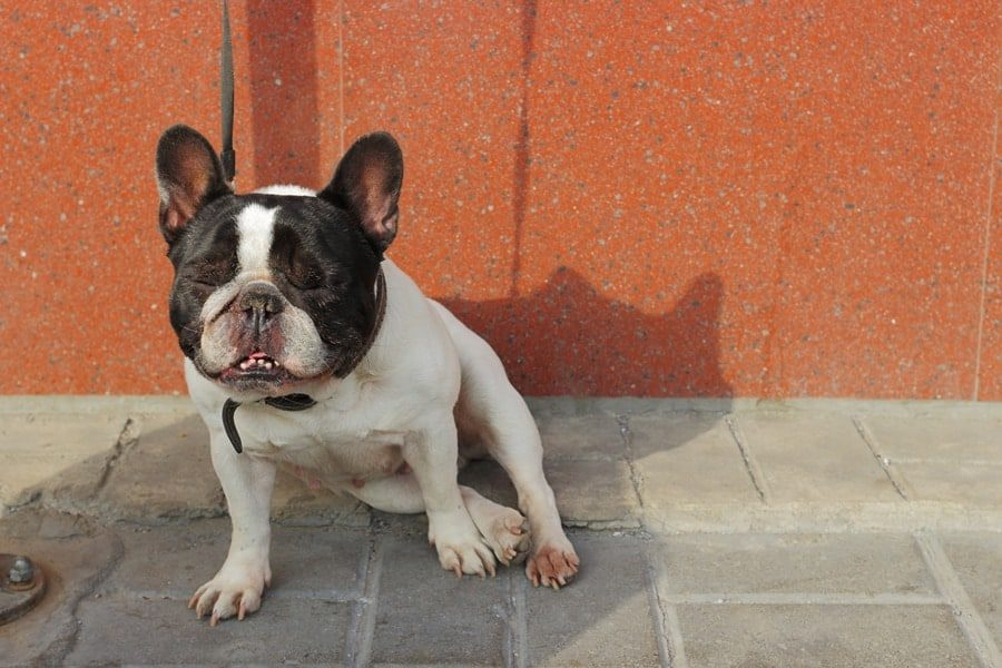 What Causes Head Tremors in Bulldogs? – Any Bulldog