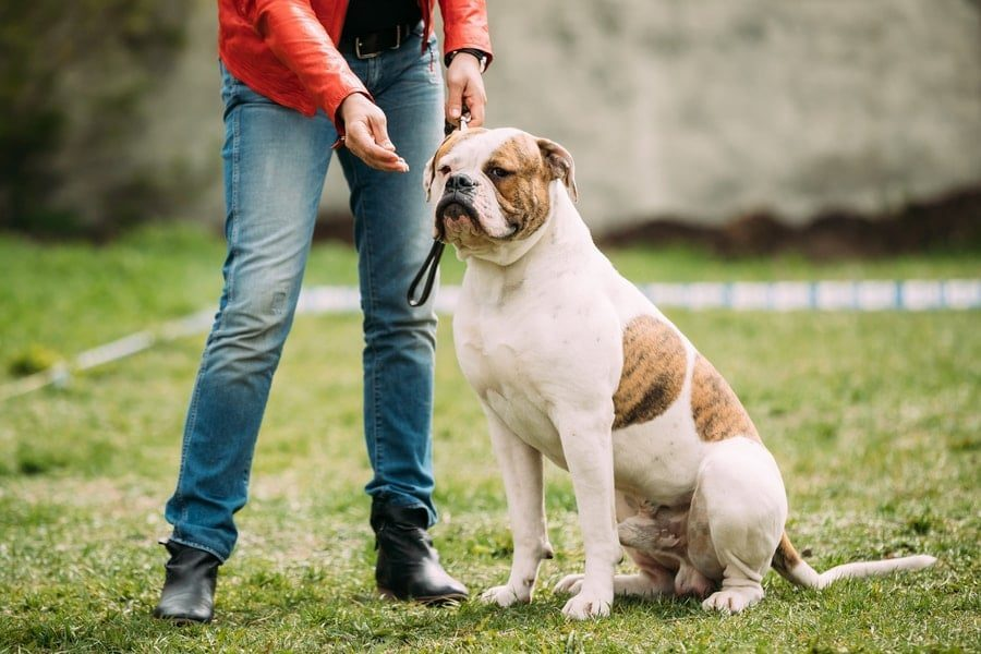 How To Potty Train An English Bulldog In 12 Simple Steps