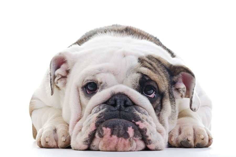 Why Does My English Bulldog Have A Runny Nose 7 Ways To Treat It
